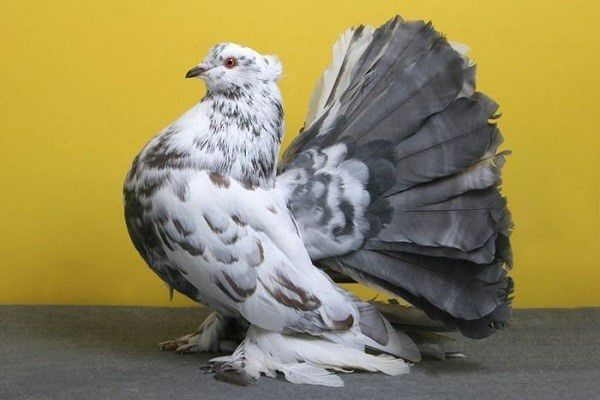 Породистые голуби отличаются от городских пугливостью и низким иммунитетом к болезням