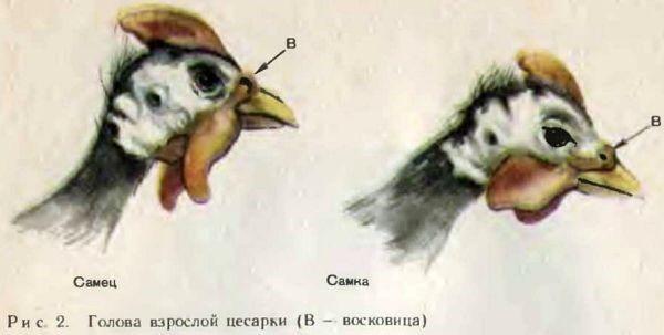 Отличия в размере кожного нароста на голове у самки и самца цесарки