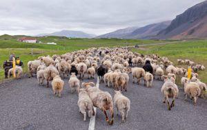 Преимущества разведения овец