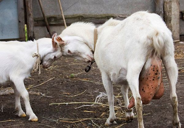 Мастит в любой форме будет отрицательно влиять на качество молока
