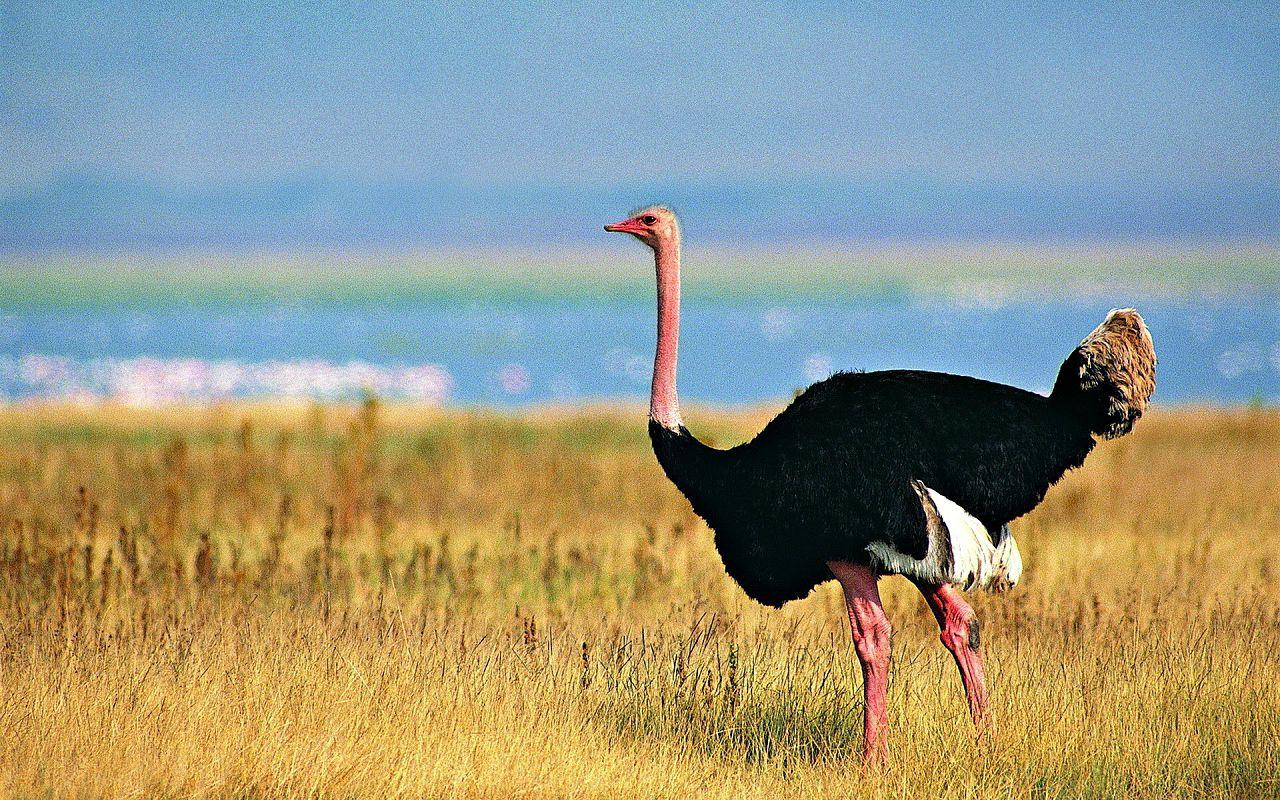 Африканский страус