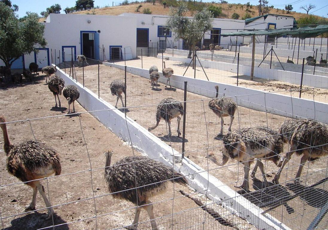 Содержание страусов по степени трудоемкости ни чем не отличается от выращивания любой домашней птицы
