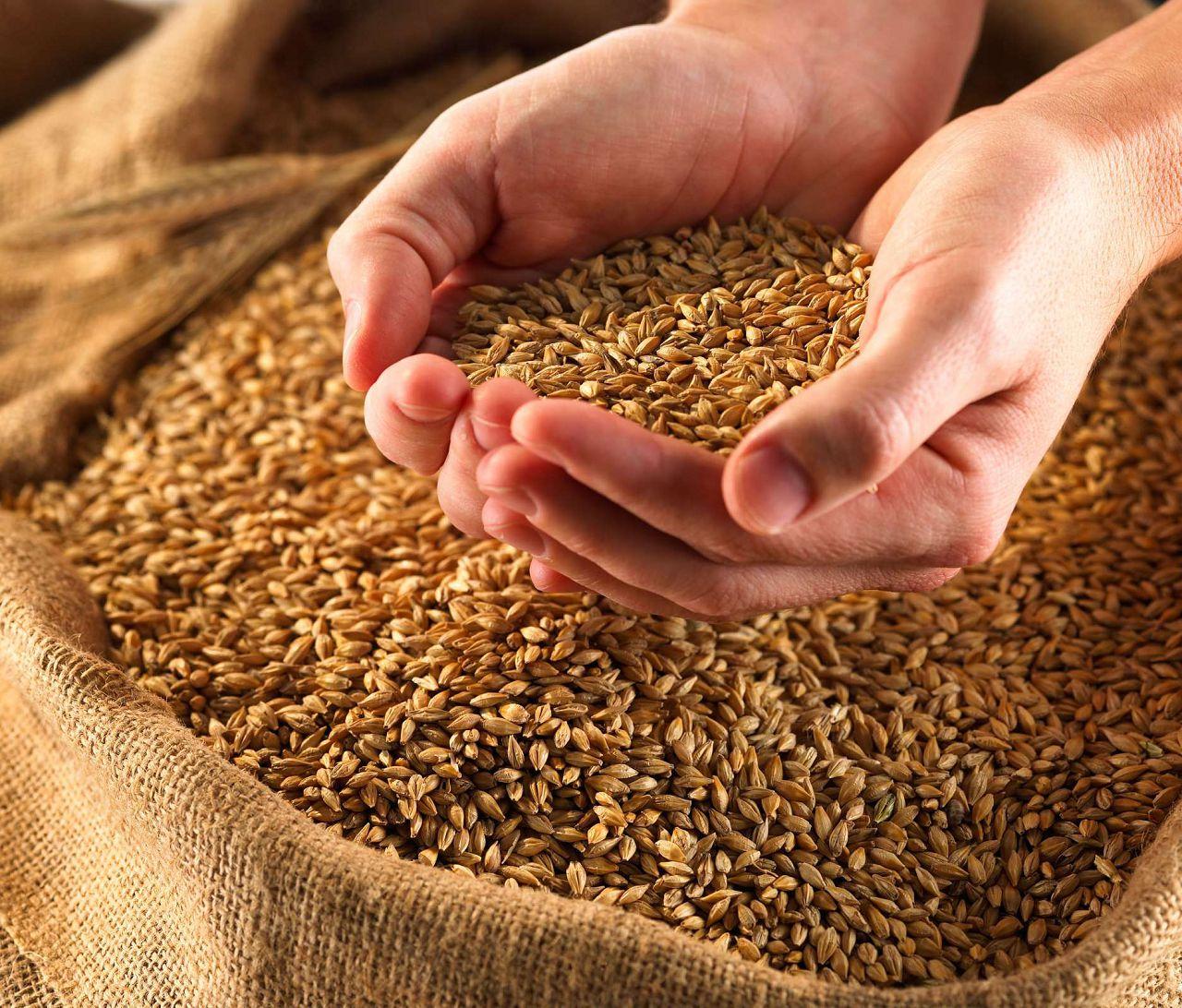Перед сном желательно давать перепелам зерно