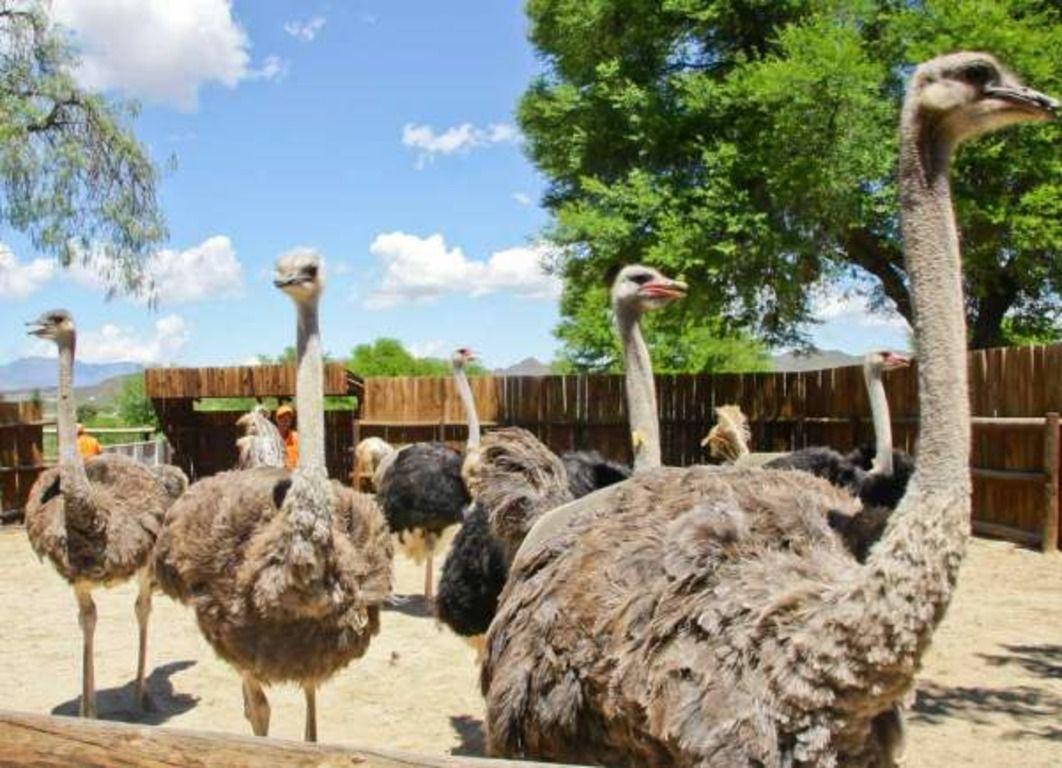 В фермерских кругах страусов называют «домашний скот с крыльями»