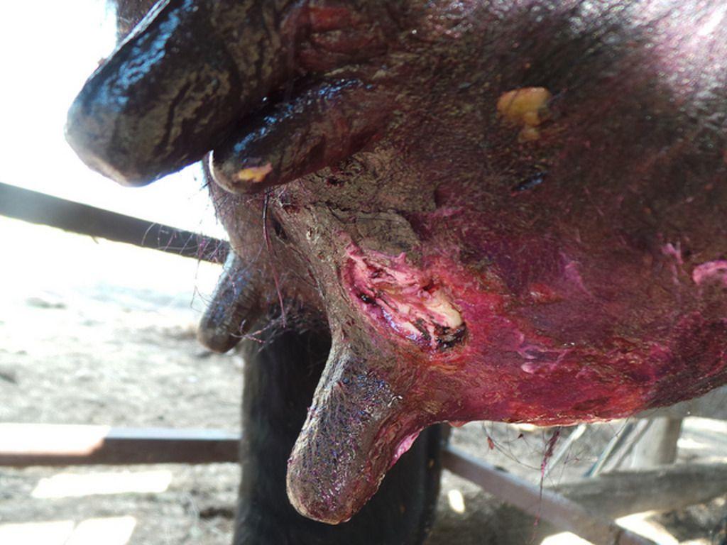 Мастит является одним из самых распространенных заболеваний, возникающих после отела коровы