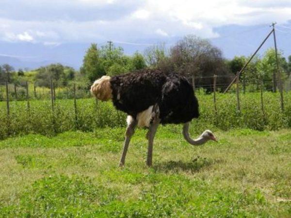 Земля, на которой будут содержаться страусы, обязательно должна быть покрыта травой