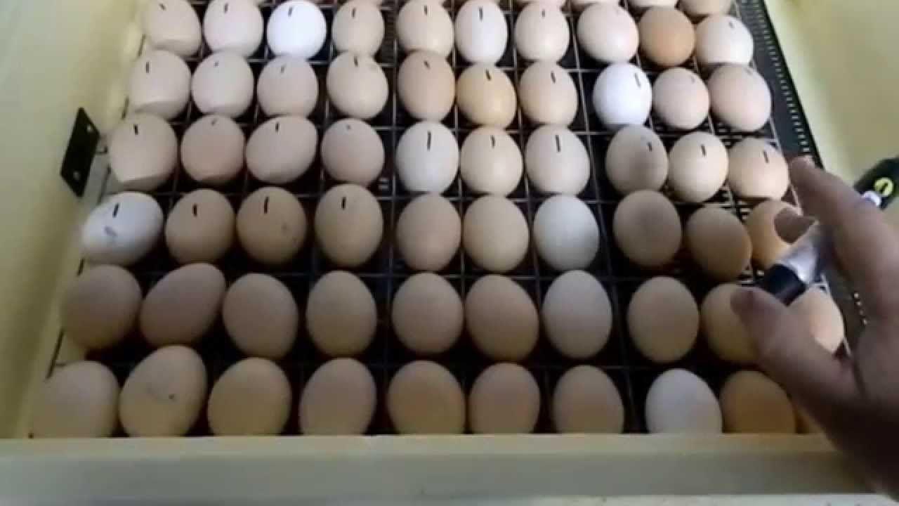 Более высокий процент выводимости можно получить, если расположить яйца горизонтально