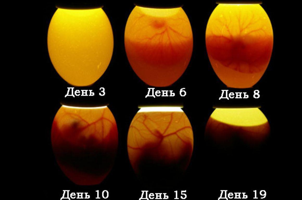Периоды созревания эмбриона