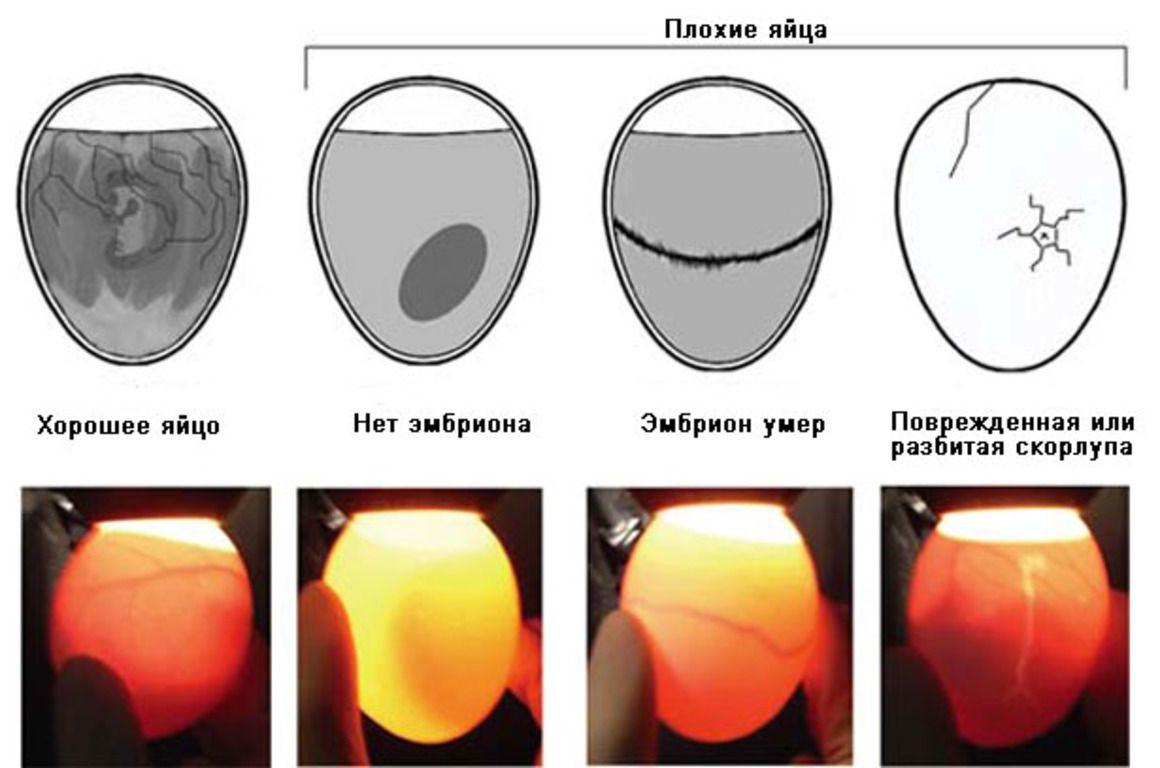 Самые распространенные дефекты яиц, которые легко выявить во время просвечивания