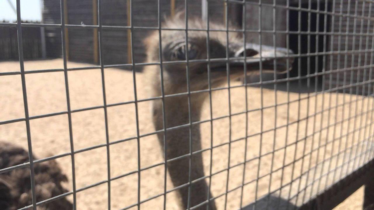 Размер ячеек в оградительной сетке должен быть намного меньше головы страуса, примерно 30х30 см