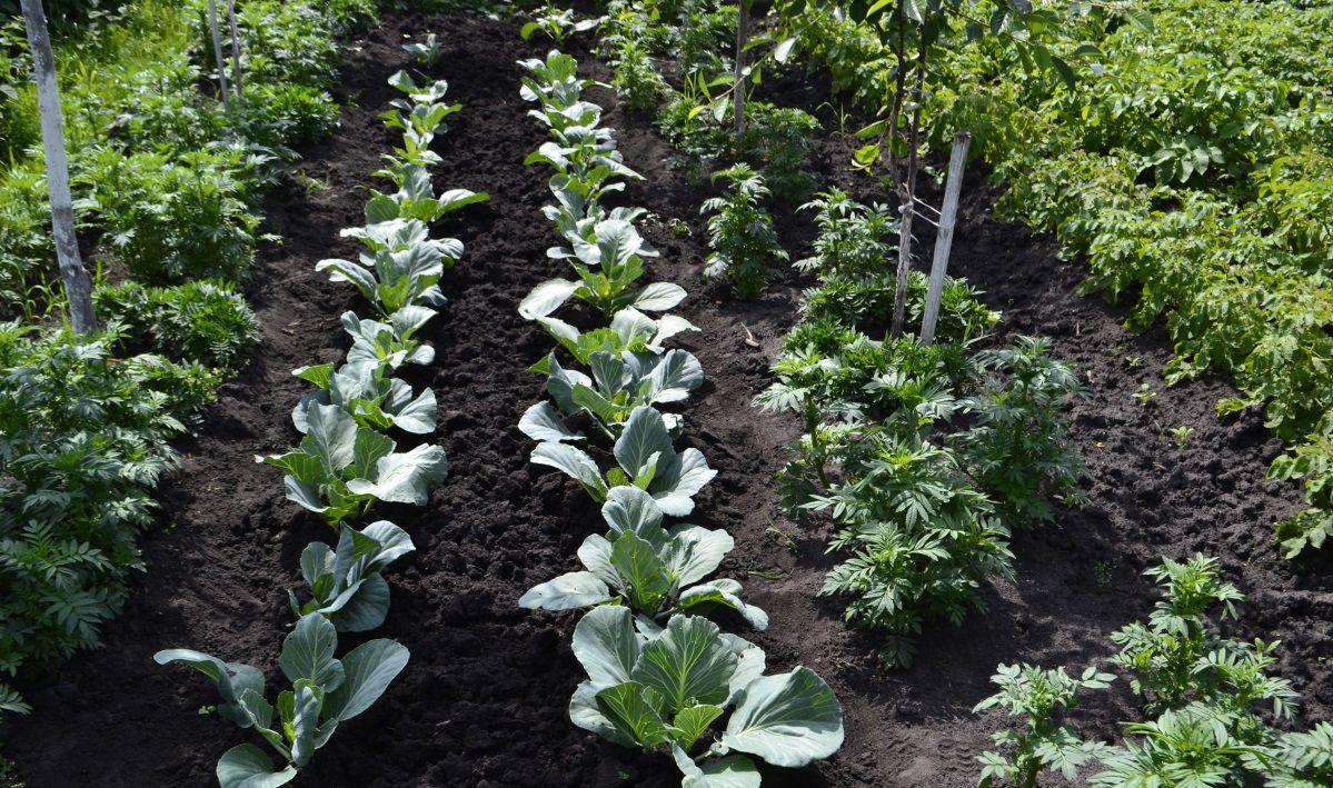Полив навозом должен осуществляться между рядами растений