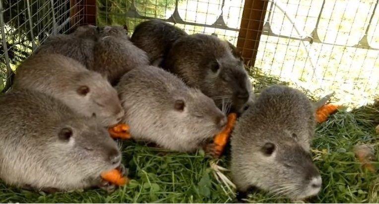 Нутрий можно кормить морковью и листьями