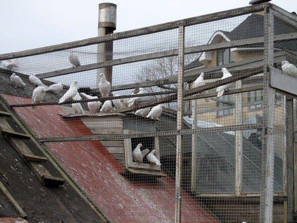 Разведение голубей в городских условиях требует особого внимания к здоровью пернатых