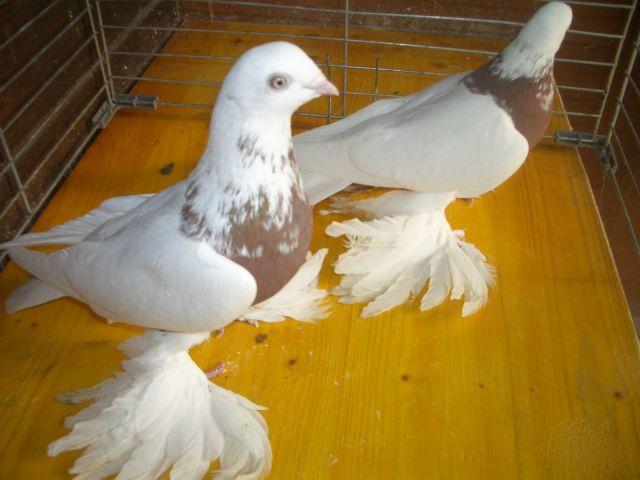 Лохмоногие голуби