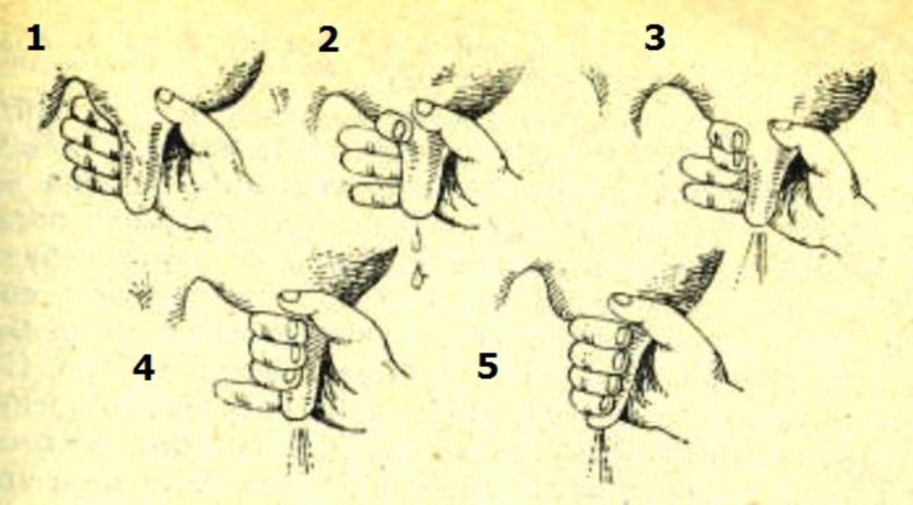 Схема доения кулаком