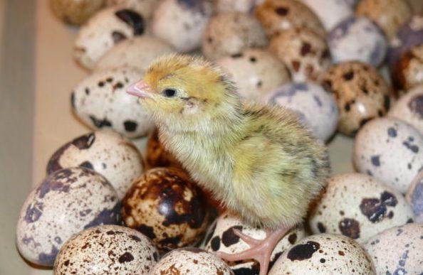 После того, как цыплята окрепнут, можно скармливать им комбикорм для бройлеров