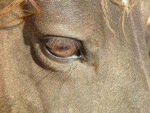 Глаза тяжеловозов мелкие и глубоко посажены, в отличие от быстрых скакунов