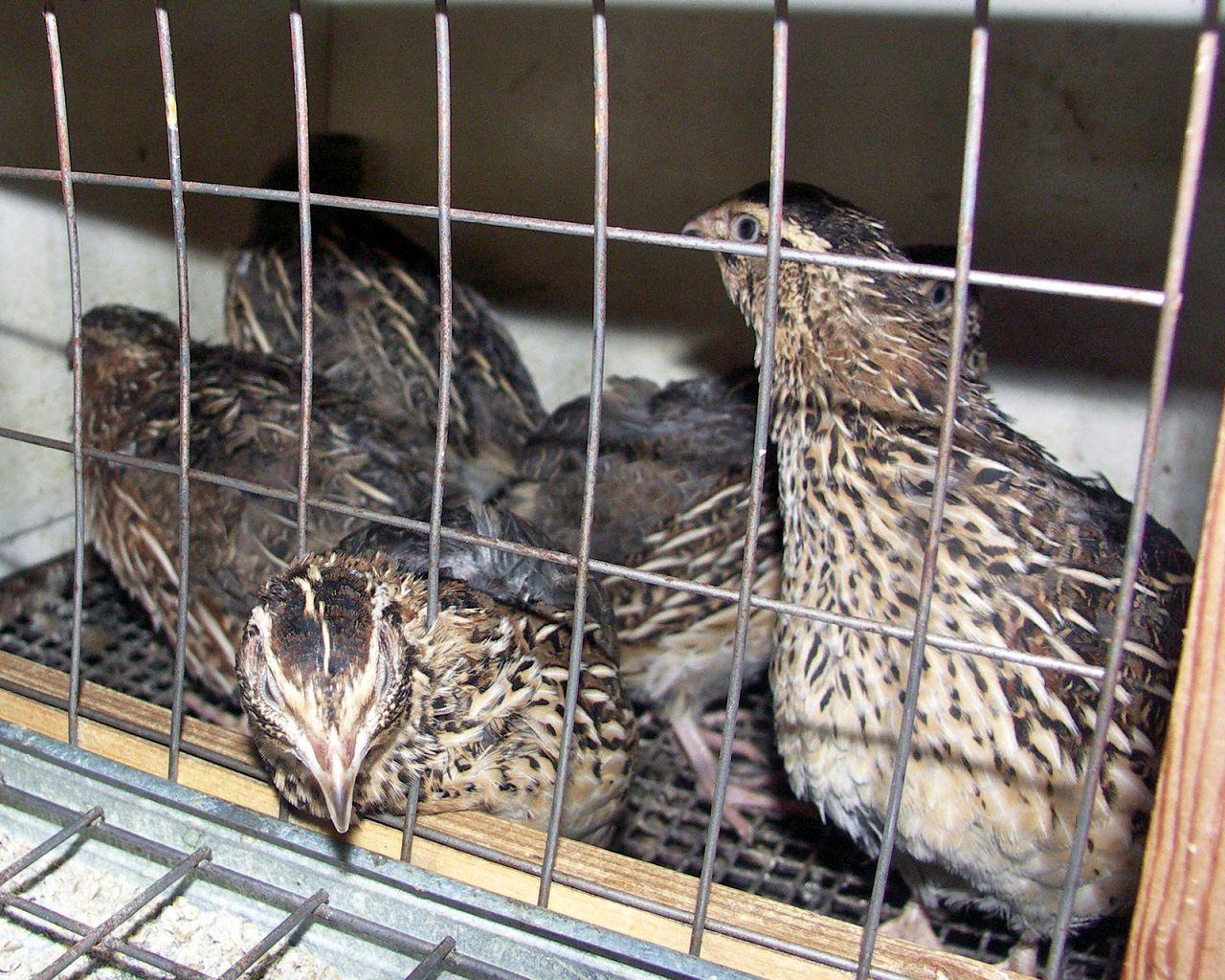 Чтобы получить инкубационные яйца перепелов следует содержать семьями в разных клетках: на 3 самки— один самец