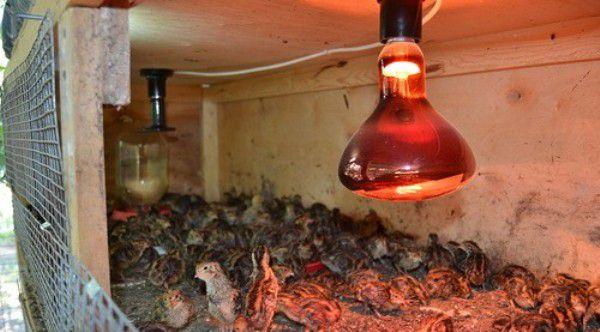 Для откорма перепелов используется искусственное освещение