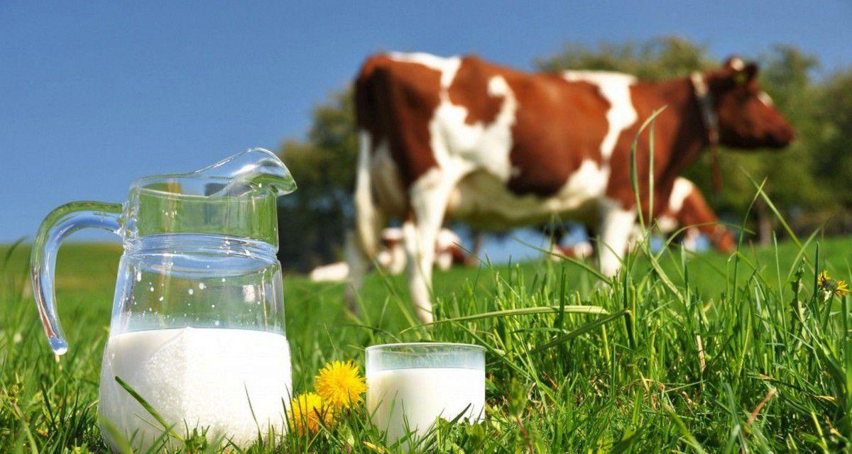 Раздой первотелок — эффективное мероприятие по увеличению молочной производительности