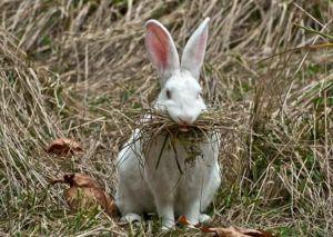 Самка кролика нуждается в спаривании, если на следующий день после родов, активно жуёт сено