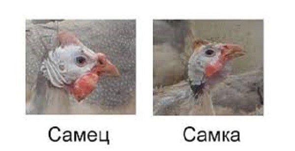 Различия в форме клювов самки и самца