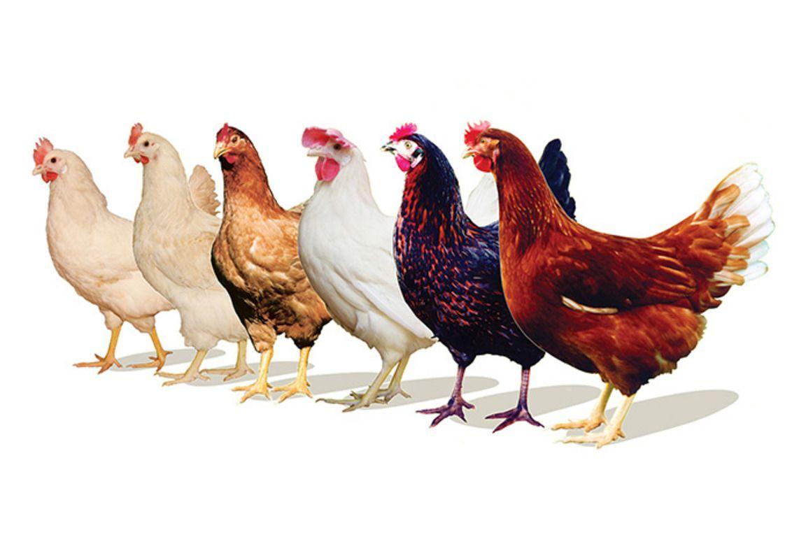 Babolna TETRA — птицеводческая компания, занимающая одно из ведущих мест на мировом рынке разведения яйценоских гибридов