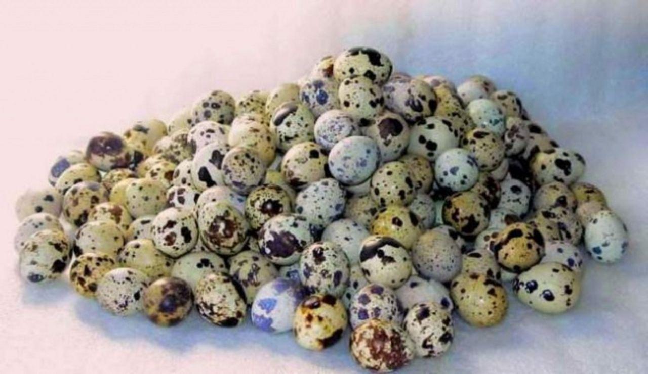 В одном перепелином яйце содержится 1,3 г белка, 1,1 г жира, 0,05 г углеводов