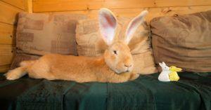 Кролик-великан в доме