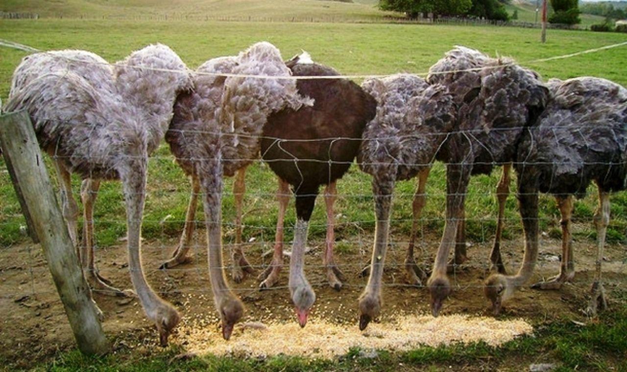 Прирост веса на одну кормовую единицу у страусов значительно больше, чем у других домашних птиц