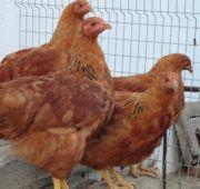 Нью-гемпшир: порода кур