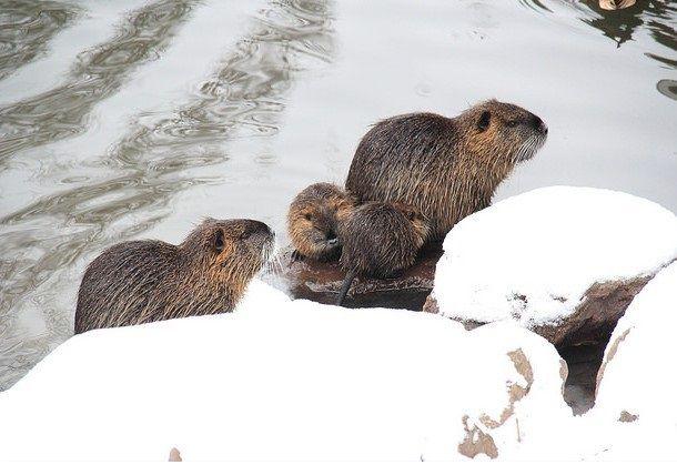 Зимой нутриям дают влажные мешанки