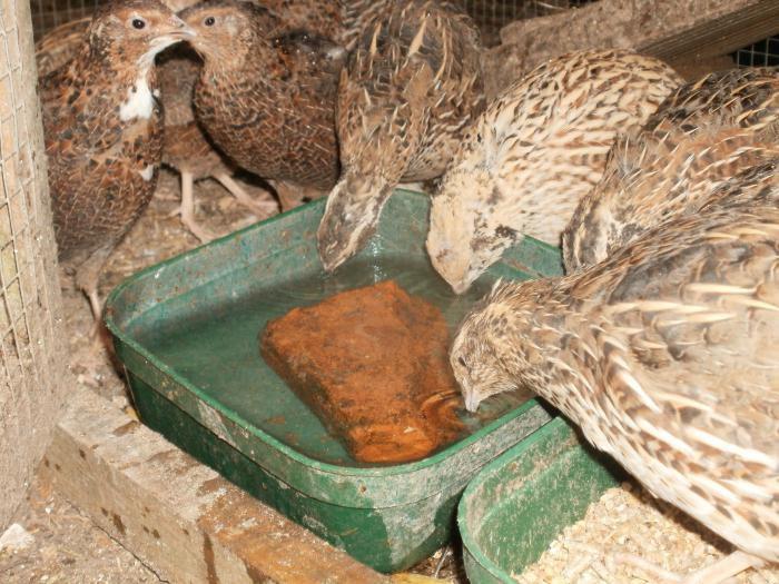 Вода и корм для перепелов должны быть комнатной температуры
