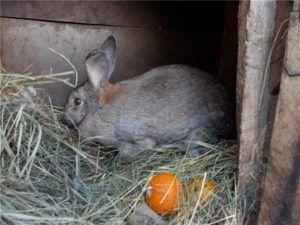 Крольчиха может игнорировать новорожденных, не проявляя материнской заботы