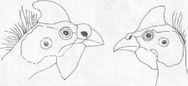 Схематичные различия в строении головы самок и самцов