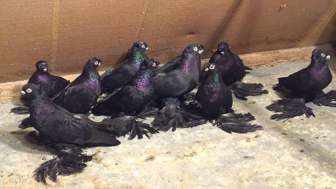 Особых требований к содержанию узбекских голубей не предъявляется