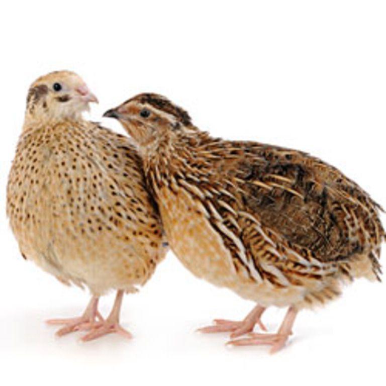 Маньчжурские перепела — очень красивые и милые птицы, которые также подходят для разведения в декоративных целях