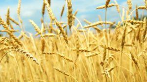 Зерновые культуры и семена