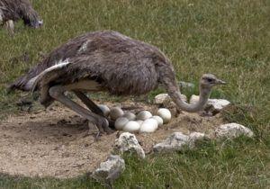 В страусиной семье самка заботится о яйце в светлое время суток, а самец ― ночью.