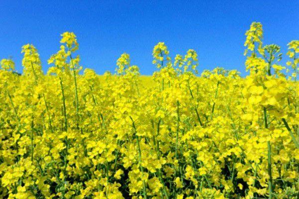 Рапсовый жмых - источник растительного жира