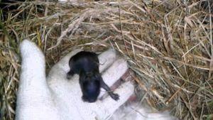 Регулярный осмотр новорожденных крольчат