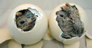 Инкубационные птенцы вылупливаются примерно на 42 сутки.