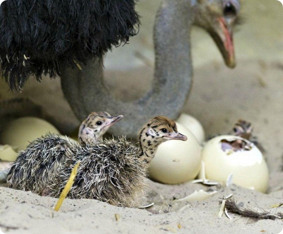 Несмотря на экзотичность породы, страусы абсолютно непритязательны в содержании и уходе