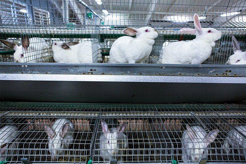 Содержание кроликов в промышленных масштабах