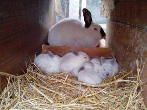 Довольно часто крольчиха покидает гнездо, возвращаясь для кормления
