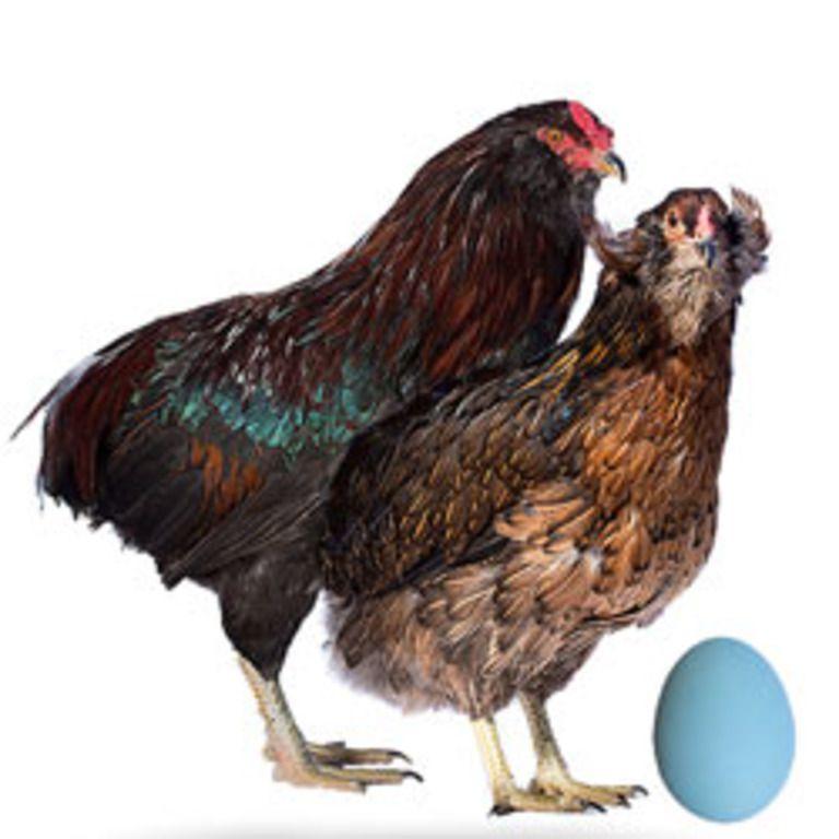 Курица породы Араукана кладет голубые яйца