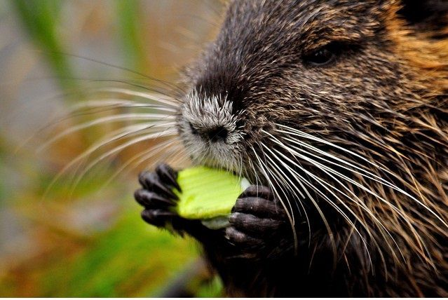 Для кормления нутрий можно использовать всё, что зверьки едят в дикой природе