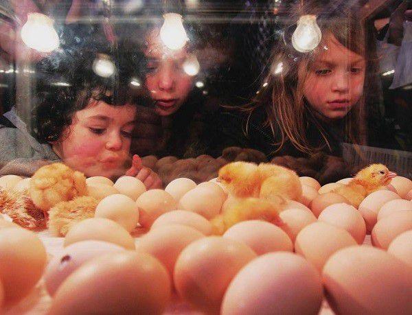 Инкубатор имитирует поведение курицы-несушки