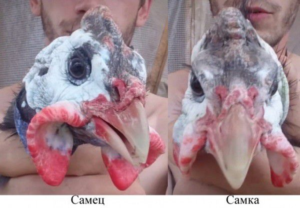Сережки у самца и самки отличаются не только формой, но и интенсивностью окраса