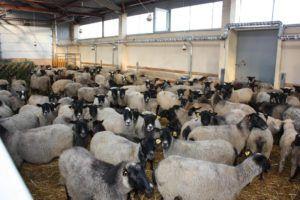 Организация овчарни